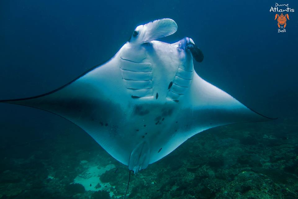 Le plaisir de la nage avec lesraie manta bali